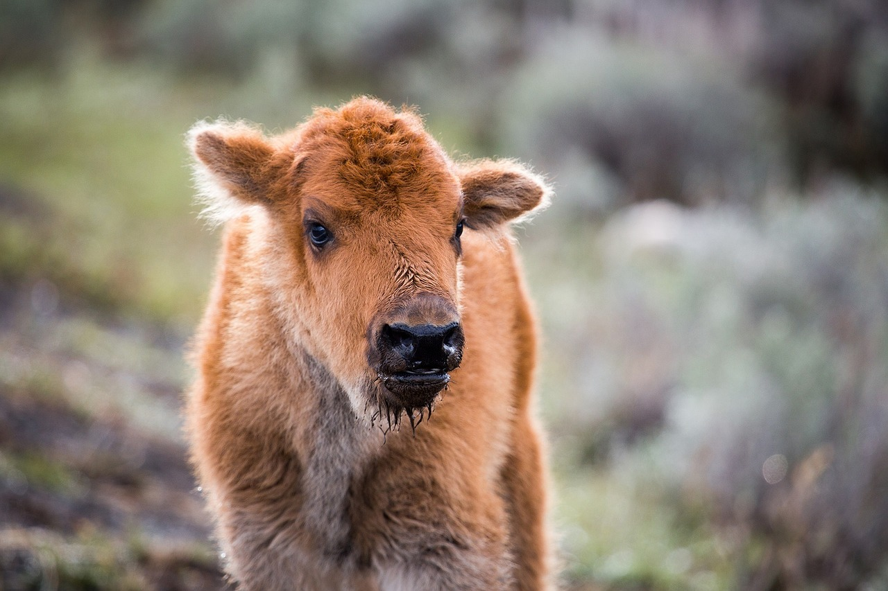 Bison calves start out red in colour and then darken as they mature.