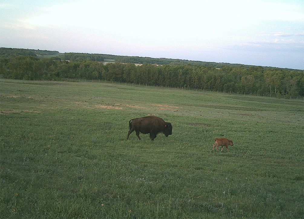 A bison cow and her calf at Canadian Forces Base/Area Support Unit Wainwright on May 19, 2016. Bison are part the heritage and history of the base, and the 40-member herd has been pastured at non-public expense in a protected part of the range and training area since 1980. Photo: Warrant Officer (Retired) Brian Bachelder, Canadian Forces Base/ Area Support Unit Wainwright bison caretaker. ©2017 DND/MDN Canada.