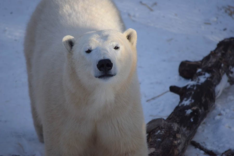 "Honorary Corporal Juno, the Canadian Army's adopted polar bear, in ""civilian"" attire at the Assiniboine Park Zoo in January 2018. Photo: courtesy Assiniboine Park Zoo."