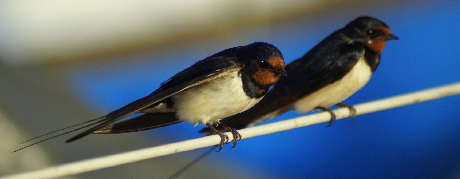 Slide - Barn swallows